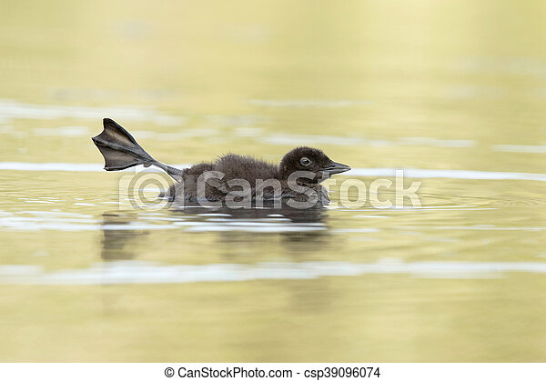 Common Loon Chick Stretching Its Leg - csp39096074