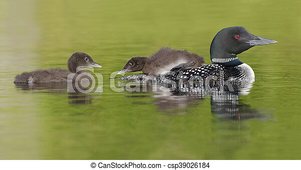 Common Loon Chick Watching its Sibling as it Rides on Parent's Back - csp39026184