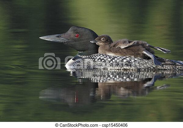 Common Loon (Gavia immer) - csp15450406