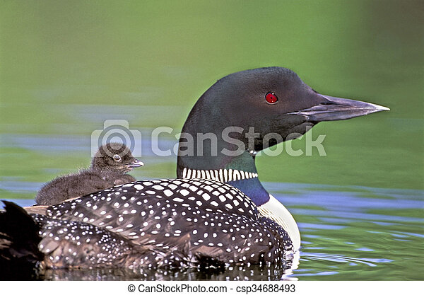 Common Loon with chick on back - csp34688493