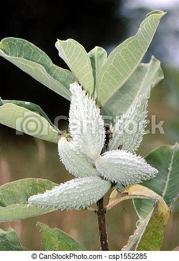 Common Milkweed  H-1442 - csp1552285