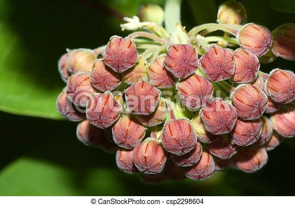 Common Milkweed - csp2298604