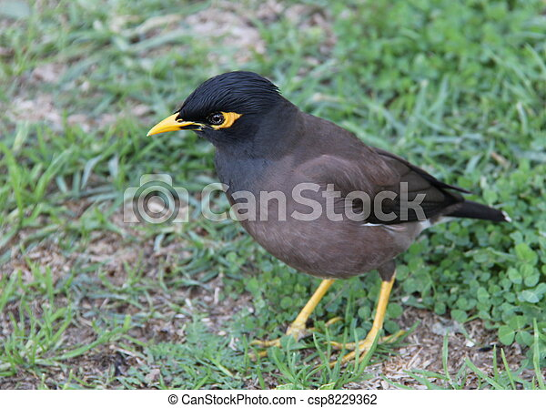 Common mynah bird (acridotheres tristis).this bird wistles ... - photo#24