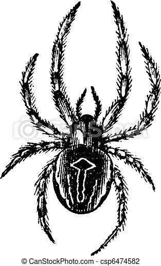Common Orb-weaving Spider or Common Epeira or Araneus sp., vintage engraving - csp6474582