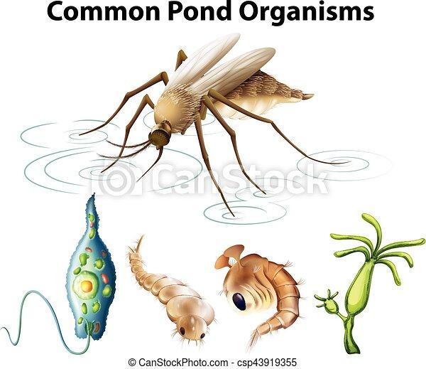 Common pond organisms diagram illustration common pond organisms diagram csp43919355 ccuart Images
