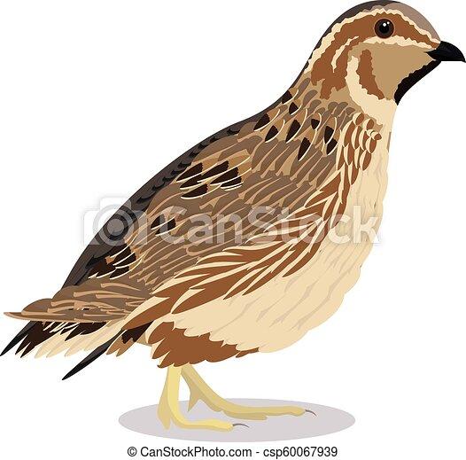 common quail bird common quail cartoon bird vector illustration quail clip art coloring quail clip art free