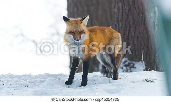 Common Red fox (Vulpes vulpes) looks for food on winter's day. - csp45254725