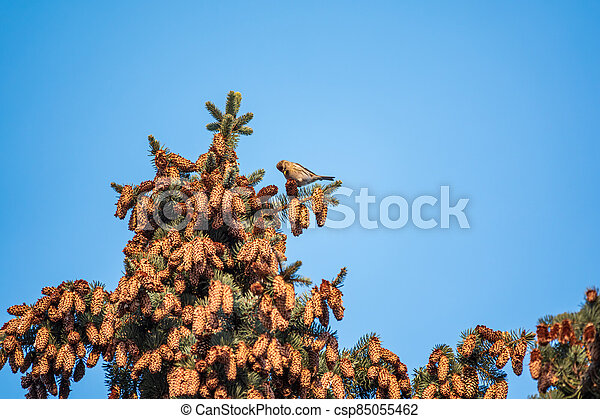 Common redpoll acanthis flammea female eating cone seeds on fir tree against a blue sky. - csp85055462