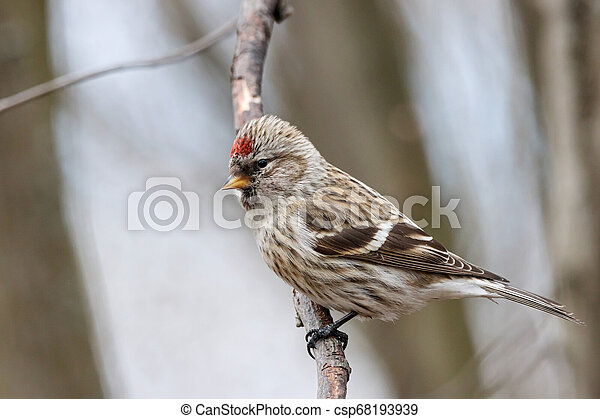 Common redpoll acanthis flammea female on branch - csp68193939