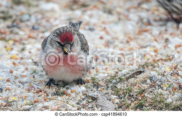 Common Redpoll Carduelis flammea - csp41894610