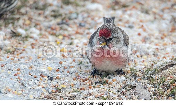 Common Redpoll Carduelis flammea - csp41894612