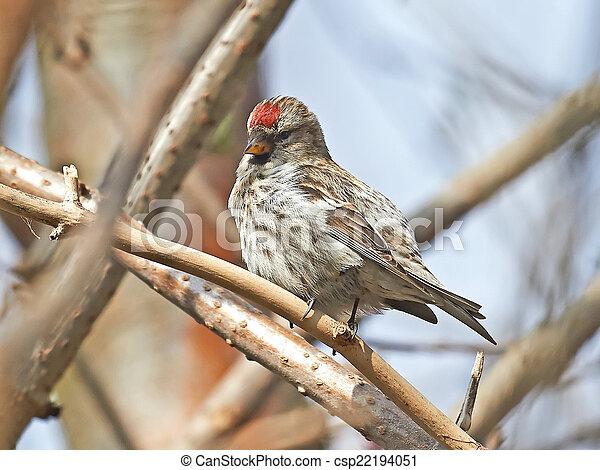 Common Redpoll (Carduelis flammea) - csp22194051