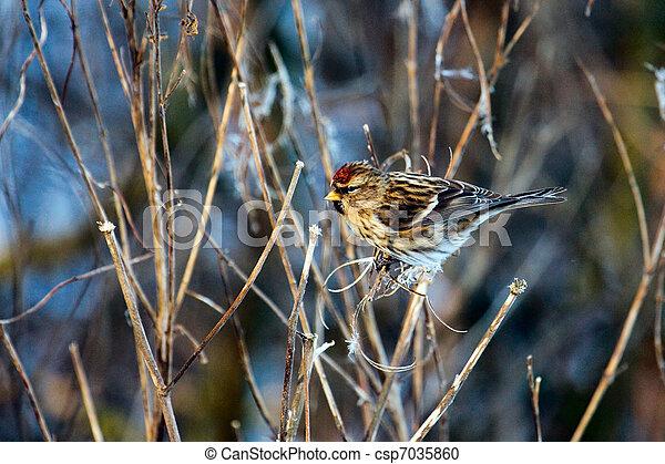 Common Redpoll (carduelis flammea) feeding on plant seeds - csp7035860