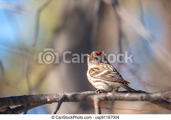 Common redpoll female, cute bird with bright red patch on its forehead sits on tree branch without leaves in sunny spring day. - csp91167004