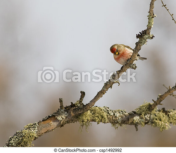 Common Redpoll on Branch - csp1492992