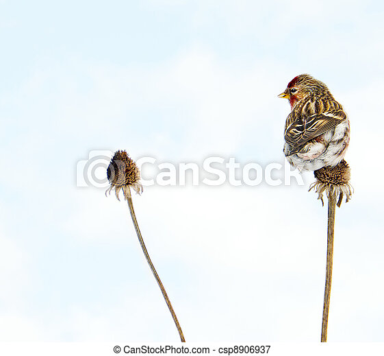 Common redpoll perched. - csp8906937