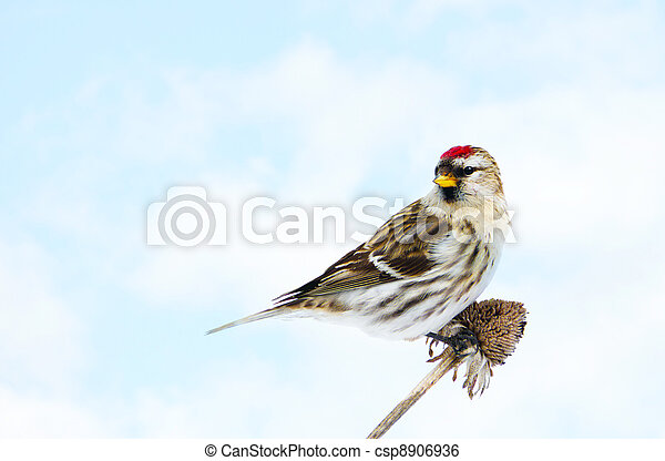 Common redpoll perched. - csp8906936