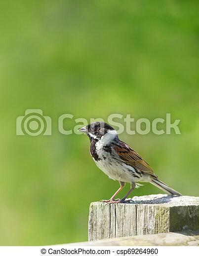 Common Reed Bunting Perched On A Wooden Post Close Up Of A Common Reed Bunting Emberiza Schoeniclus Perched On A Wooden Canstock