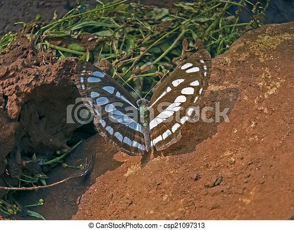 Common sailor-butterfly, Neptis hylas varmona, Nymphalidae, Neptis hylas - csp21097313