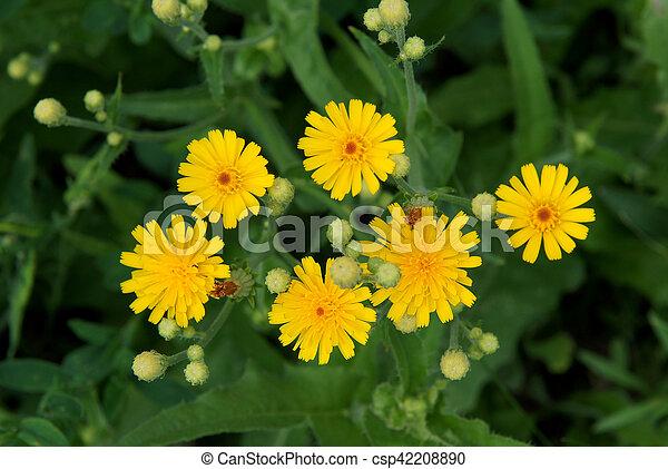 Common Sowthistle Sonchus Oleraceus Has Yellow Flowers In Spring