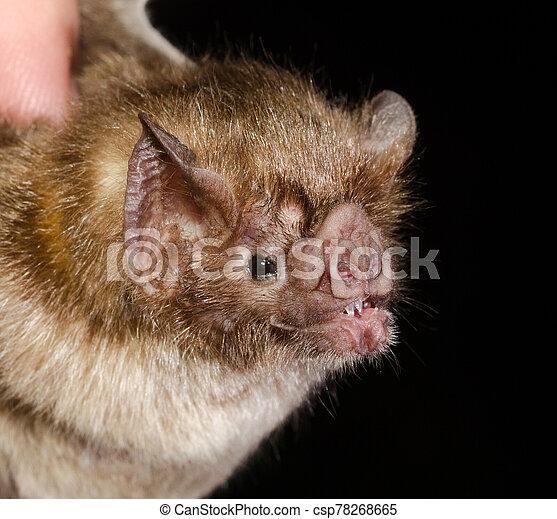 commun, bat., vampire - csp78268665