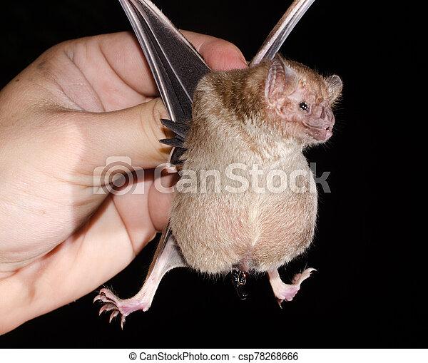 commun, bat., vampire - csp78268666
