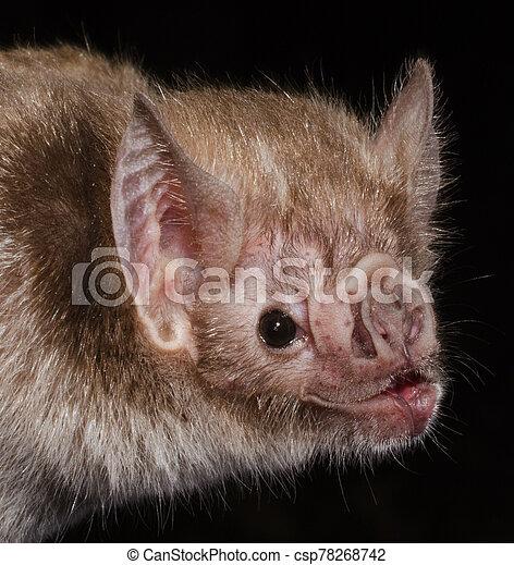commun, bat., vampire - csp78268742