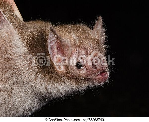 commun, bat., vampire - csp78268743