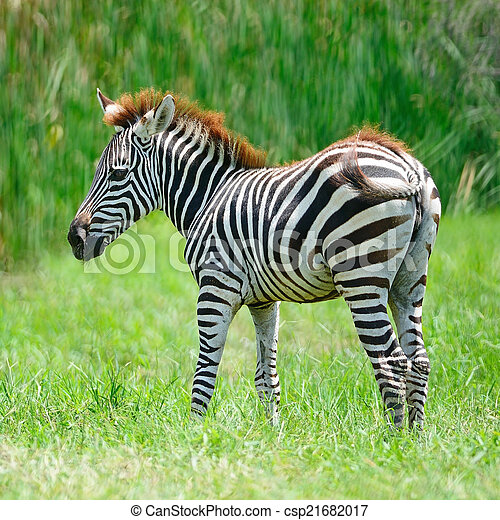 commun, zebra - csp21682017
