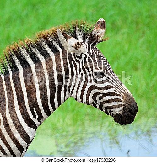 commun, zebra - csp17983296