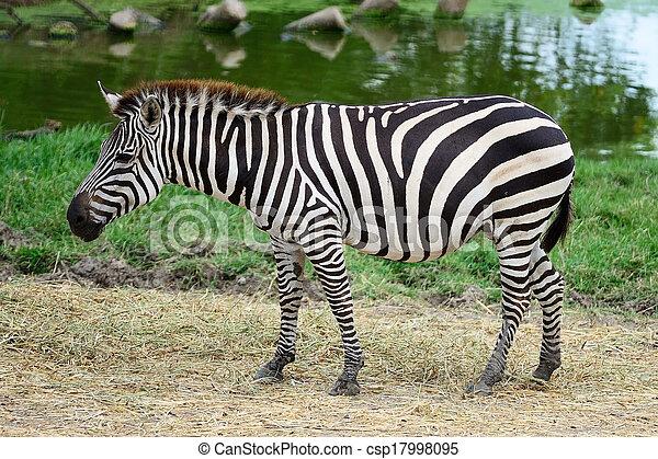 commun, zebra - csp17998095