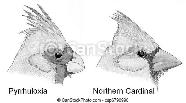 Pyrrhuloxia Drawing