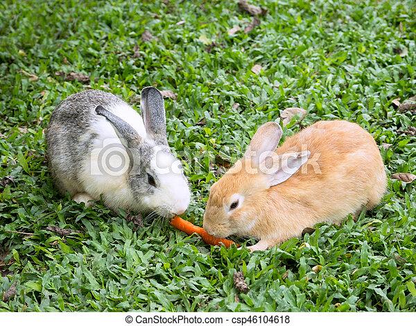 Dos conejos compartiendo una zanahoria - csp46104618