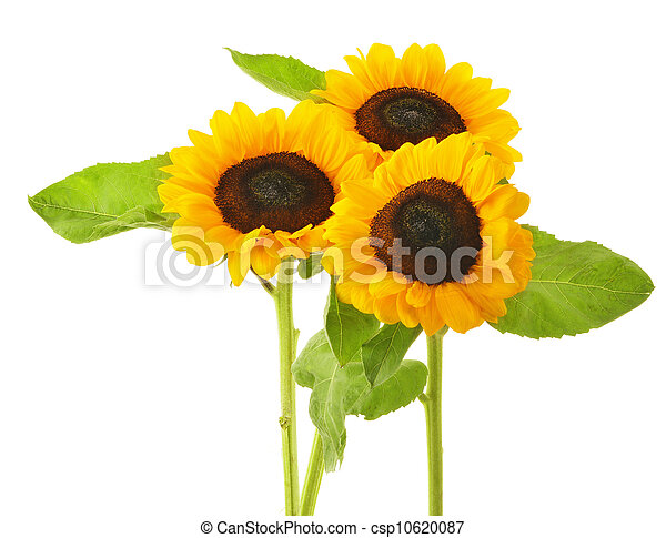 Composition with sunflowers isolated on white background - csp10620087