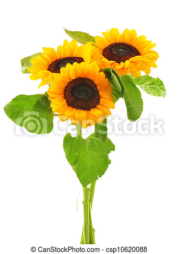 Composition with sunflowers isolated on white background - csp10620088