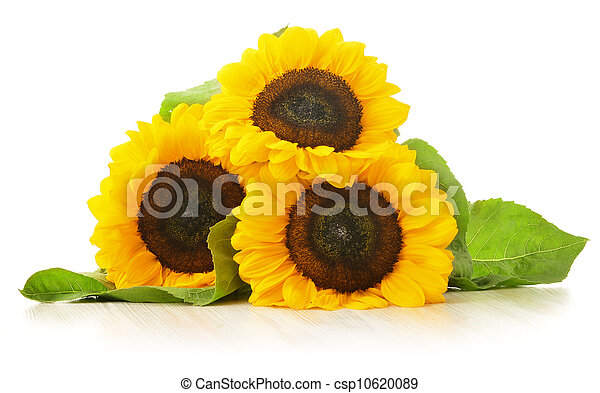Composition with sunflowers isolated on white background - csp10620089