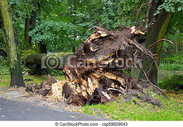 concept, déraciné, dangereux, après, arbre, parc, temps, orage - csp59829043