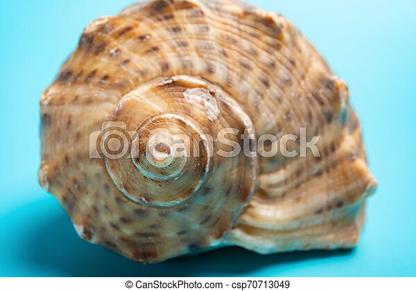 conch shell on a blue background close up - csp70713049