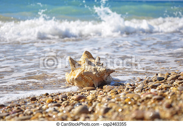 Conch shell - csp2463355