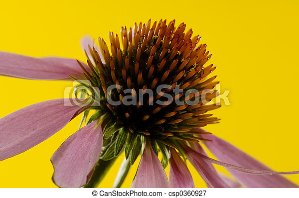 Cone Flower - csp0360927