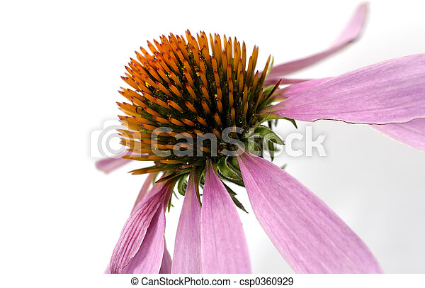Cone Flower - csp0360929