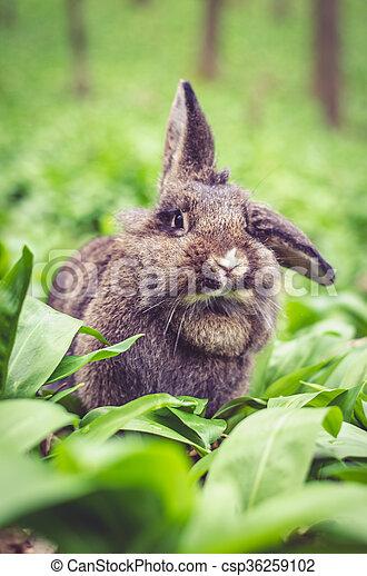 conejo - csp36259102