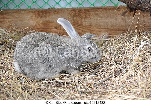 Conejo - csp10612432