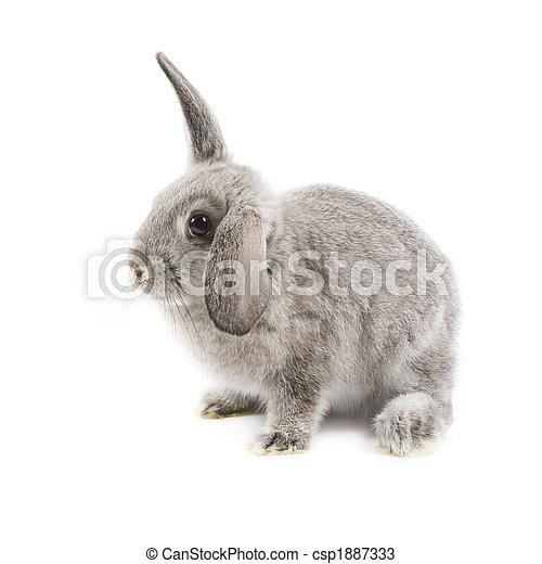 Conejo - csp1887333