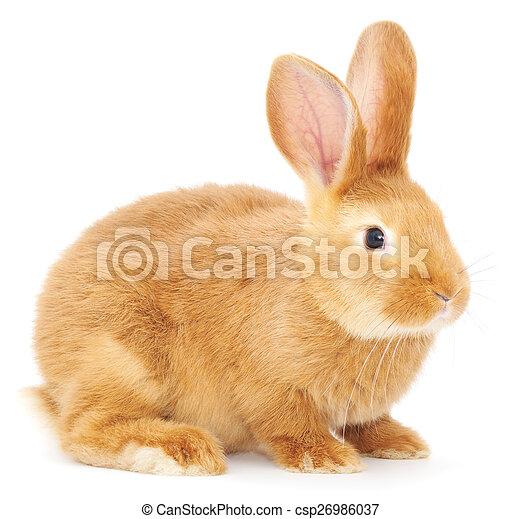 Conejo - csp26986037