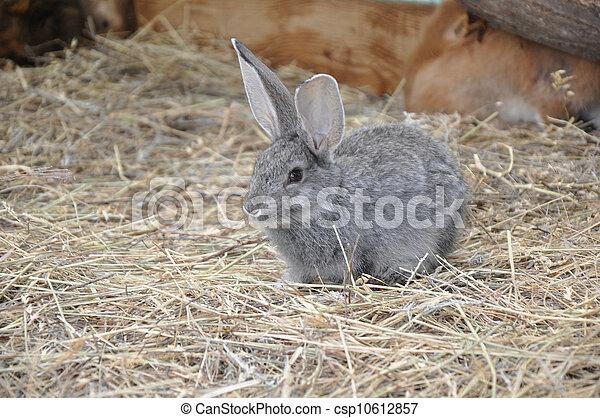 Conejo - csp10612857