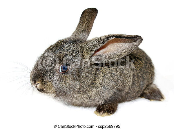 Conejo - csp2569795