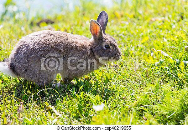 Conejo - csp40219655