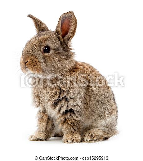 conejo blanco, aislado, plano de fondo, animals. - csp15295913