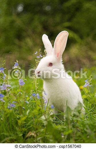 Conejo blanco - csp1567040